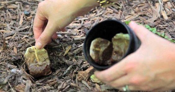 10 Utilidades do saquinho de chá usado