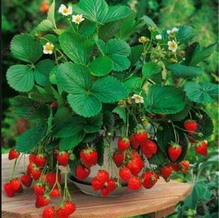 Como-plantar-morango
