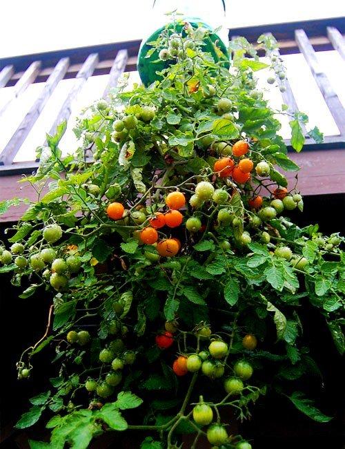 Como Plantar Tomate Em Garrafa Pet (PASSO A PASSO)