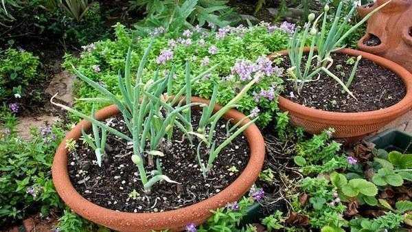 cebolinha plantada em vasos