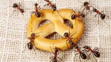 Foto de 5 Dicas caseiras de como se livrar das formigas