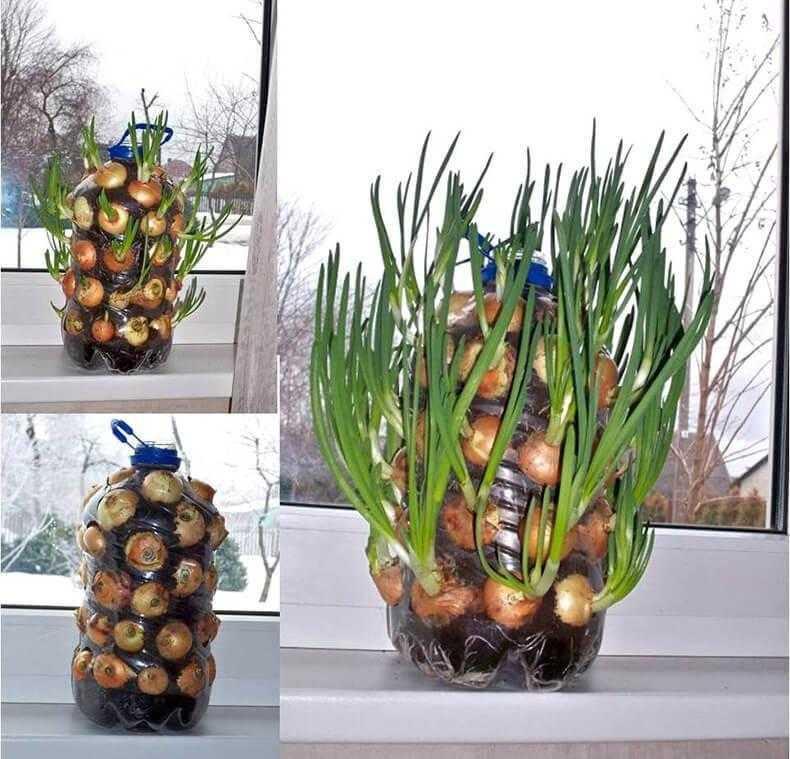 Como cultivar cebolinhas dentro de casa ou AP