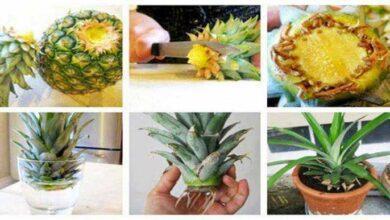 Photo of Como plantar abacaxi em casa e até em apartamento