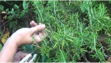 Como plantar alecrim a partir de um simples ramo
