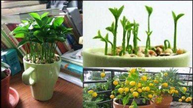 Foto de Como plantar sementes de limão para ter um limoeiro