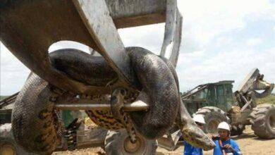Trabalhadores explodem caverna e esbarram com anaconda gigantesca