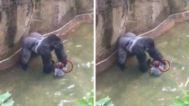 Photo of Novo vídeo de gorila que foi morto em zoológico divide opiniões
