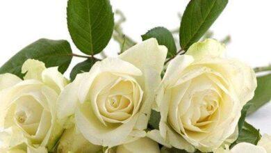 Descubra o que significa sonhar com rosa branca