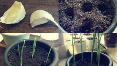 Foto de Aprenda a plantar alho em casa com esta dica