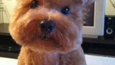 Foto de As 20 piores tosas e penteados em cães e gatos