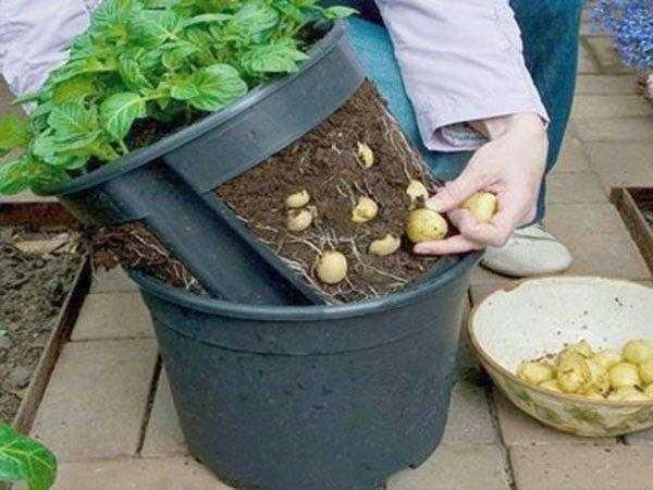 Como plantar batatas em baldes