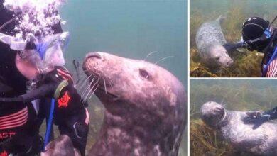 Foto de Vídeo: Foca reage como um cãozinho ao pedir carinho para mergulhador