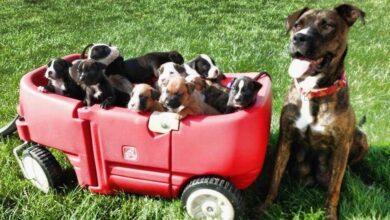 Pit Bull grávida recusa dar à luz seus filhotes. A razão? Estou sem palavras.