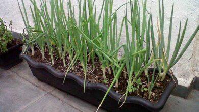 Foto de Aprenda como plantar cebolinha de forma prartica