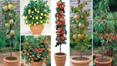 Como cultivar árvores frutíferas em vasos
