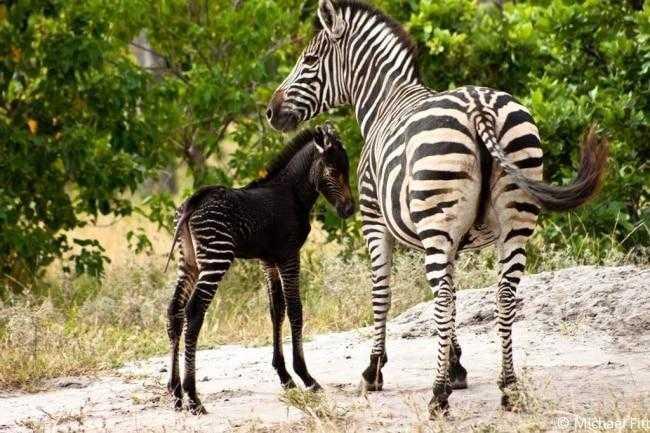animais fantásticos que nasceram com melanismo 00a 6 12 animais fantásticos que nasceram com melanismo