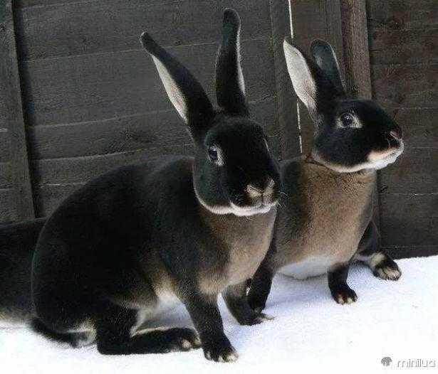 animais pretos 13 e 12 animais fantásticos que nasceram com melanismo