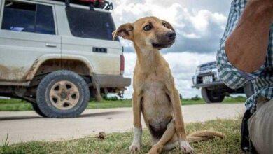 Cadela paralisada se arrasta por vários km a procura de ajuda