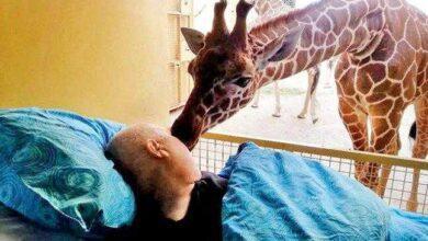 Girafa se despede de seu cuidador com um 'beijo'