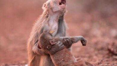 Photo of Macaca é fotografada abraçando filhote doente e comove a internet