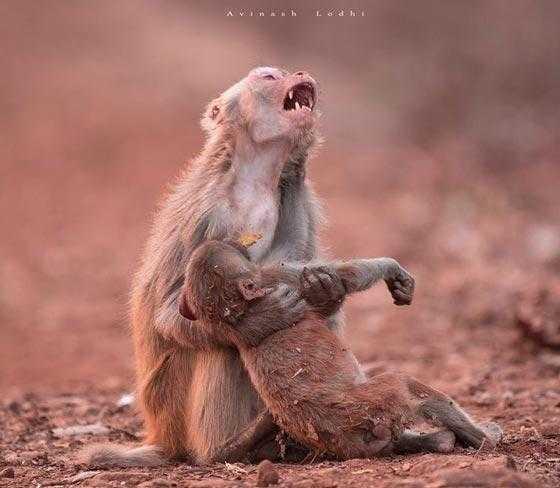 Macaca é fotografada abraçando filhote doente e comove a internet