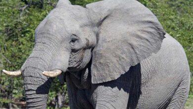 Foto de Qual o feminino de elefante