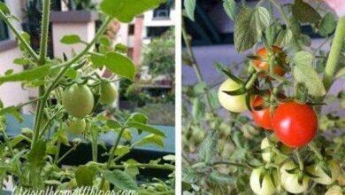 Como plantar tomates de maneira a obter melhores resultados!