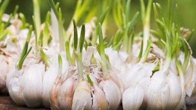 Foto de Conheça este truque que vai lhe permite plantar alho em casa