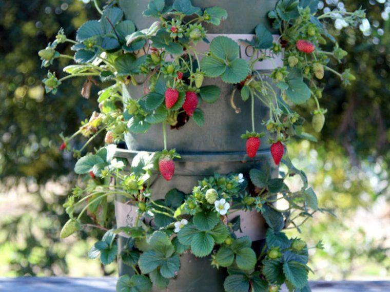 1497111865 34 9 formas diferentes de cultivar morangos em sua casa 9 formas diferentes de cultivar morangos em casa