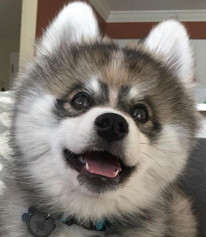 Conheça o mais fofo husky da Pomerânia