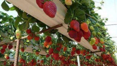 Foto de 9 formas diferentes de cultivar morangos em casa
