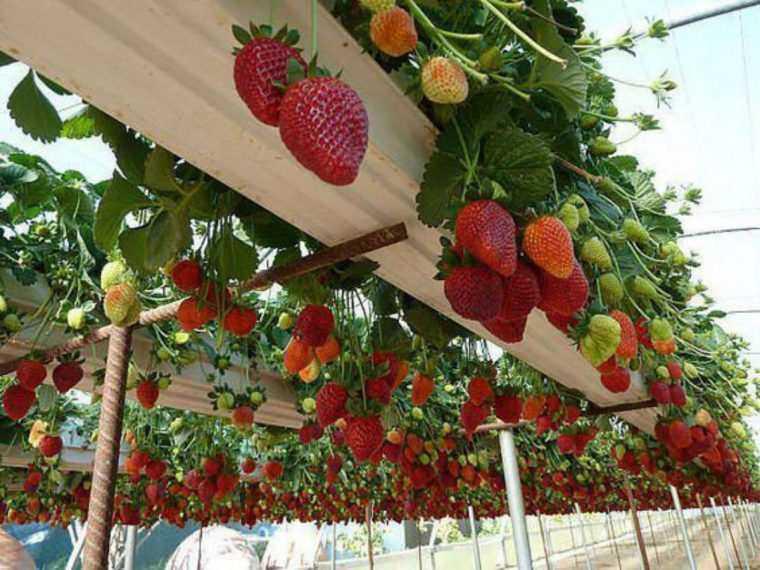 9 formas diferentes de cultivar morangos em casa