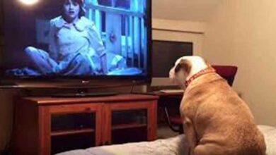 Foto de Reação de Bulldog assistindo filme de terror é hilaria