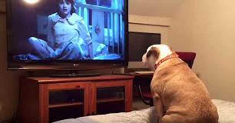 Reação de Bulldog assistindo filme de terror é hilaria