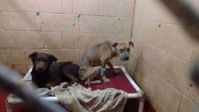Foto de Cães de abrigo se transformam completamente quando percebem que vão juntos para casa