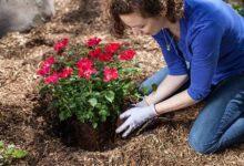 Foto de Como Cuidar de Rosas: Dicas, Informações e Fotos!