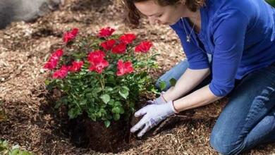 Como Cuidar de Rosas: Dicas, Informações e Fotos!
