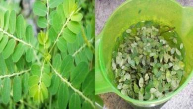 Foto de Benefícios do chá de quebra-pedra