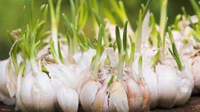 Veja como é fácil plantar alho em casa