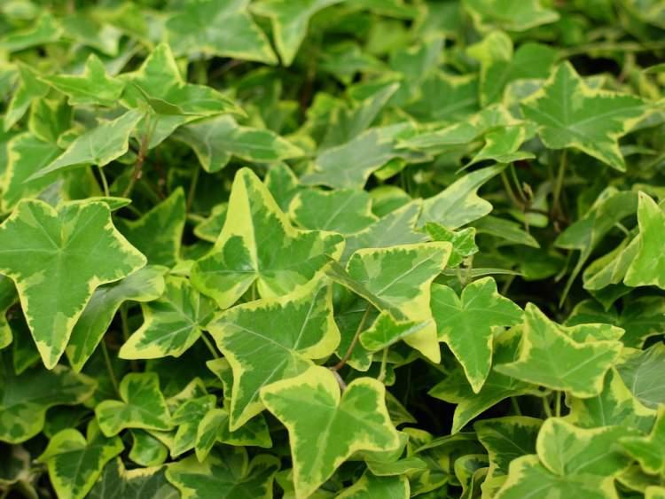 Ivy é uma das plantas que podem ser cultivadas no escritório para reduzir o estresse
