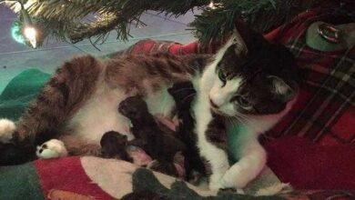 Gata grávida tem seus filhotes sob a árvore de natal da família fr