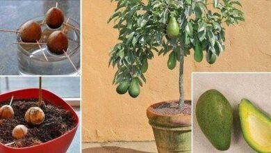 Foto de Veja como plantar abacate em um pequeno vaso na sua casa