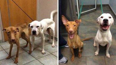 20 imagens inacreditáveis de cães antes e depois de serem resgatados