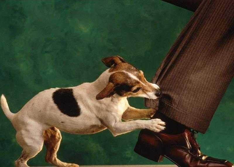 Cães conseguem identificar um autêntico mau caráter rf