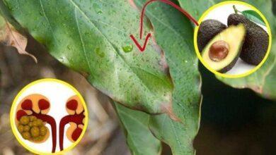 Foto de Benefícios da folha de abacate