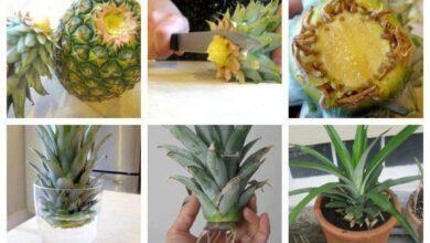 Foto de Como cultivar abacaxi em casa