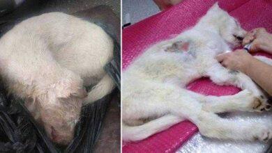 Foto de A vida dessa cadela atropelada e abandonada dentro de um saco mudou por causa de pessoas bondosas