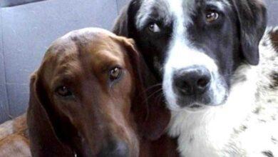 Cão de abrigo prestes a ser adotado se recusa a ir embora sem seu melhor amigo d