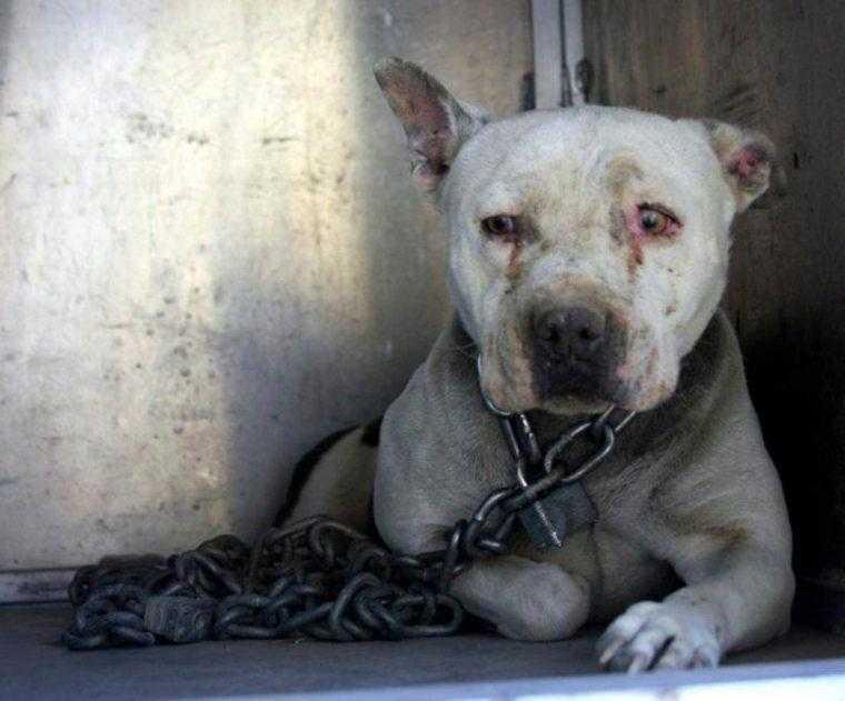 """Cão que passou anos acorrentado finalmente voltou a ser um """"cão de verdade"""""""