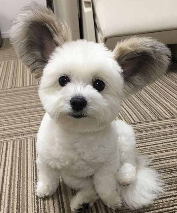 Cãozinho com orelhas de rato está encantando a internet